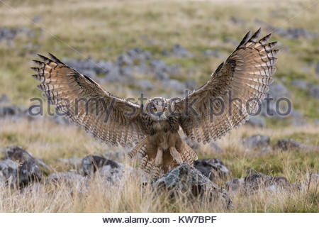 European (Eurasian) eagle owl (Bubo bubo) juvenile in flight, captive, Cumbria, UK, August 2017 - Stock Photo