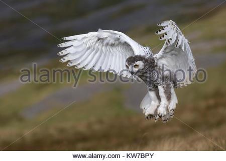 Snowy owl (Bubo scandiacus) juvenile in flight, captive, Cumbria, UK, August 2017 - Stock Photo