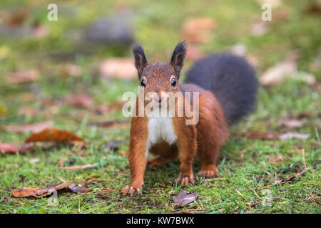 Red squirrel (Sciurus vulgaris), Eskrigg nature reserve, Lockerbie, Scotland, October 2017 - Stock Photo