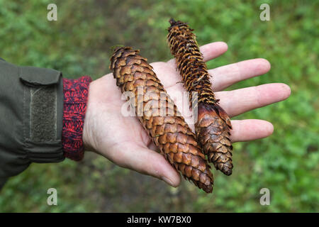 Norway spruce cones (Picea abies) showing one eaten by red squirrel (Sciurus vulgaris), Kielder Forest, Northumberland, - Stock Photo