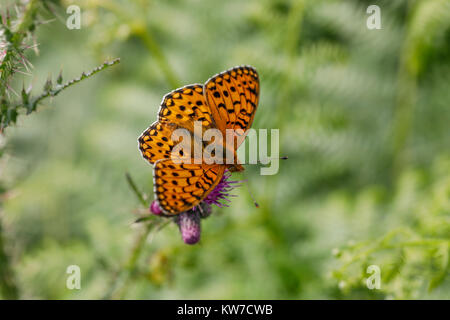 Dark Green Fritillary Butterfly; Argynnis aglaja Single on Flower Cumbria; UK - Stock Photo