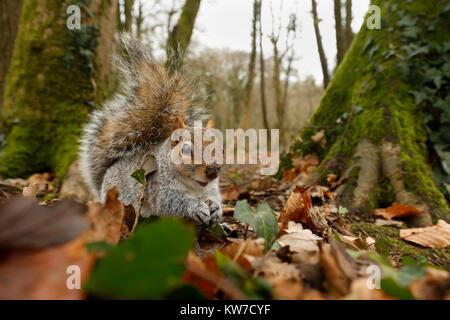 Grey Squirrel; Sciurus carolinensis Single in Woodland Cornwall; UK - Stock Photo