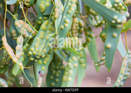 Galls (Cecidia) on Mallee Leaves (Eucalyptus spp.). Entwood Sanctuary. Sandleton. Murraylands. South Australia. - Stock Photo