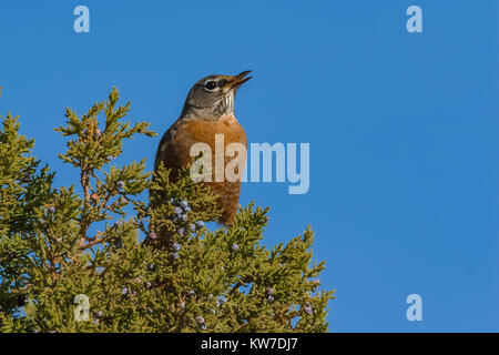 American Robin, Turdus migratorius, stopping during fall migration to feed on juniper berries in the Wild Rivers Area of Rio Grande del Norte National