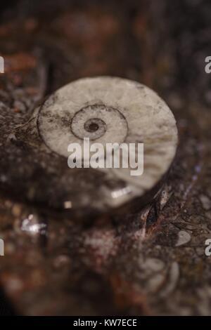 Polished Ammonite Fossil, Spiral Shell. Macro Photo, Exeter, Devon, UK. December 2017. - Stock Photo