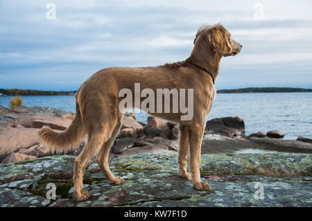 A Weimaraner dog looking out over a lake - Stock Photo