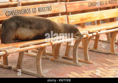 A Galápagos sea lion (Zalophus wollebaeki) sleeps on a shady bench with the inscription 'Conservemos Lo Nuestro', - Stock Photo