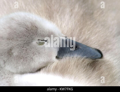 Baby Mute Swan sleeping soundly - Stock Photo