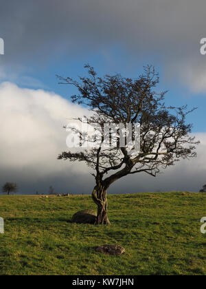 ancient wizened windswept Hawthorn or May tree (Crataegus monogyna) in Winter, growing in rough pasture on hillside - Stock Photo