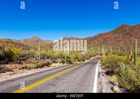 Saguaro cactus (Carnegiea gigantea) in the Saguaro National Park, Arizona, USA - Stock Photo