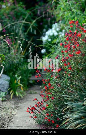 Salvia Maraschino,Salvia grahamii x Salvia microphylla, Maraschino Cherry Salvia,sage,salvias,sages,red,flower,spike,spikes,spires,garden,gardens,RM - Stock Photo