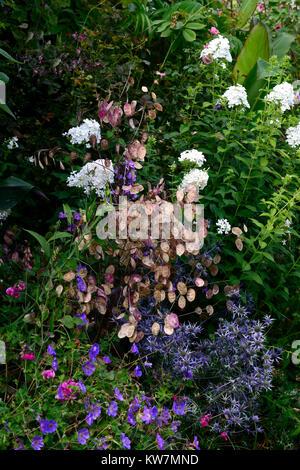Eryngium × zabelii Jos Eijking,lunaria annua,honesty,blue thistle,seed pods,annual,perennial,combination,flower,flowers,flowering,Rm - Stock Photo
