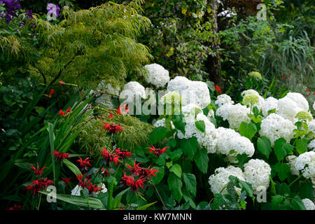 Hydrangea arborescens annabelle,monarda,red,white,flower,flowers,flowering,combination,garden,gardens,RM Floral - Stock Photo