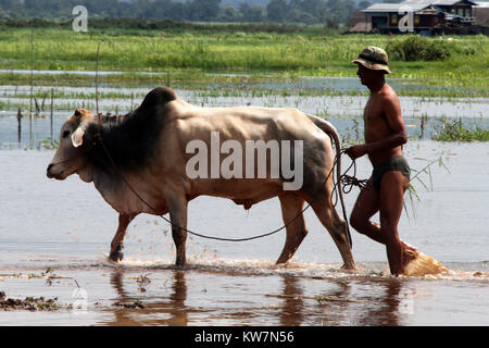 Man with cow in the water on the Inle lake, Myanmar - Stock Photo