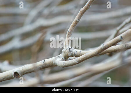 Tree Branches without leaves - Stock Photo