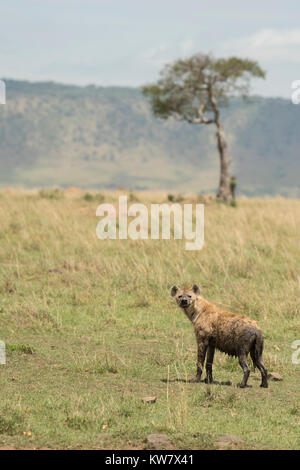 Spotted hyena (Crocuta crocuta) on grass with tree and hill in background - Stock Photo