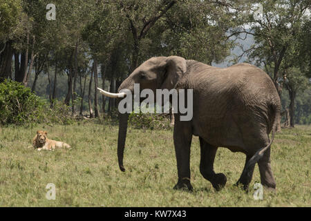 Elephant (Loxodonta africana) charging a male lion (Panthera leo)near governors camp in the Masai Mara in Kenya - Stock Photo