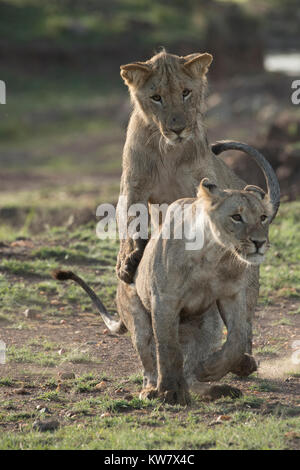 Two lion (Panthera pardus) cubs playing together in the Masai Mara game reserve - Stock Photo