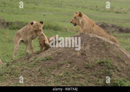 Lioness (Panthera leo) and two cubs playing with each other - Stock Photo