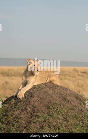 Lion (Panthera leo) cub sitting on a termite mound looking ahead in the Masai Mara game reserve in Kenya - Stock Photo