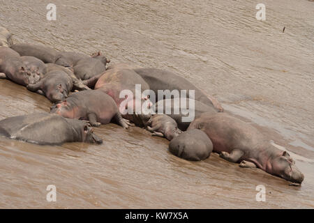 Hippopotamus (Hippopotamus amphibius) pod in the Mara river in the Masai mara - Stock Photo