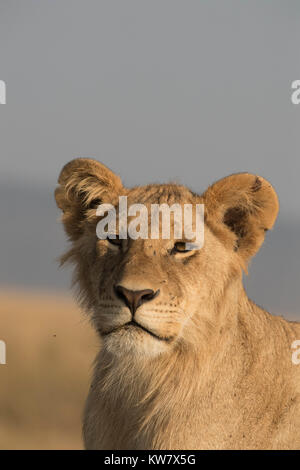 Portrait of a Lion (Panthera leo) cub sitting on a termite mound looking ahead in the Masai Mara game reserve in - Stock Photo