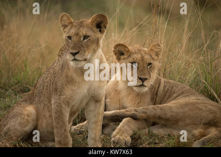 Lion (Panthera leo) cubs playing in the rain in the Masai Mara game reserve in Kenya - Stock Photo