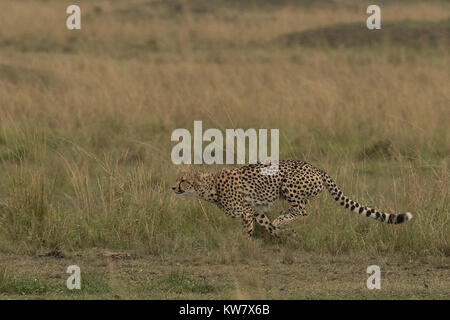 Cheetah (Acinonyx jubatus) running - Stock Photo