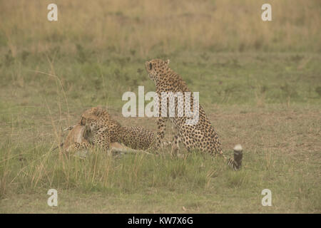 Two Cheetah (Acinonyx jubatus) with a Thomsons gazelle (Eudorcas thomsonii)  just after killing it - Stock Photo