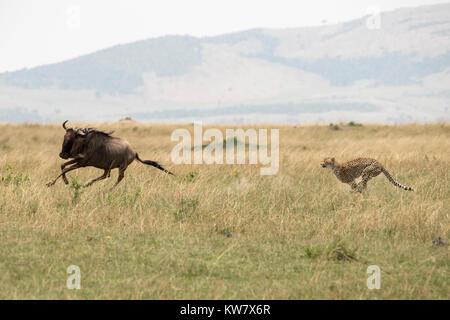 Cheetah (Acinonyx jubatus) chasing a wildebeeste (Gnu,  Connochaetes taurinus) - Stock Photo