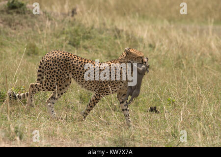 Cheetah (Acinonyx jubatus) cub carrying a baby warthog (Phacochoerus africans) just after catching it - Stock Photo