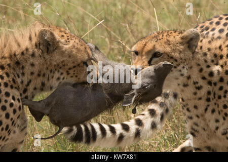 Cheetah (Acinonyx jubatus) cub and her sister tugging at a baby warthog (Phacochoerus africans) after catching it - Stock Photo