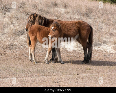 Mustang Colt and Mother - Stock Photo