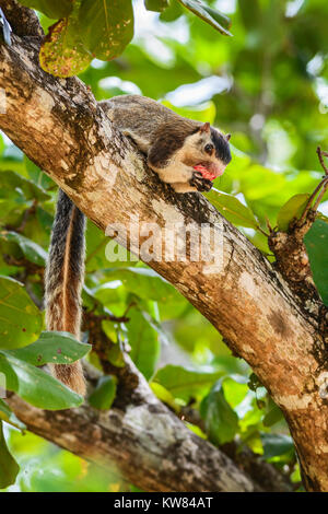 Sri Lankan Giant Squirrel - Ratufa macroura eating fruits on the tree, Sri Lanka - Stock Photo