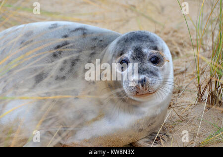 A young seal pup on Horsey Beach, North Norfolk, UK on New Year's Eve - Stock Photo