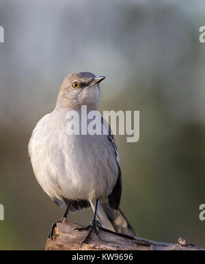 The northern mockingbird (Mimus polyglottos) is a permanent resident throughout North America and is the only mockingbird - Stock Photo