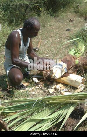 TAMIL NADU, INDIA circa 2009: Men trimming Palmyra palms, circa 2009 in Tamil Nadu, India - Stock Photo