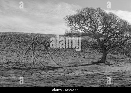 Black and white image (conversion from Colour) of an isolated oak tree in a field and the marks of animal tracks - Stock Photo