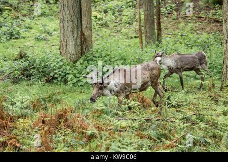 Two (male and female) Caribou at Northwest Trek Wildlife Park near Eatonville, Washington, USA - Stock Photo