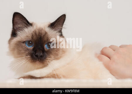 A seal point Birman cat, 9 month old cat, male being stroked by a woman's hands - Stock Photo