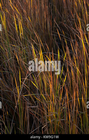 Sun hitting blades of cattail leaves in a dense wetland marsh in the late afternoon at the Salton Sea, California; - Stock Photo