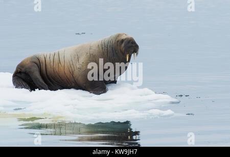 Atlantic Walrus on Ice Floe - Stock Photo