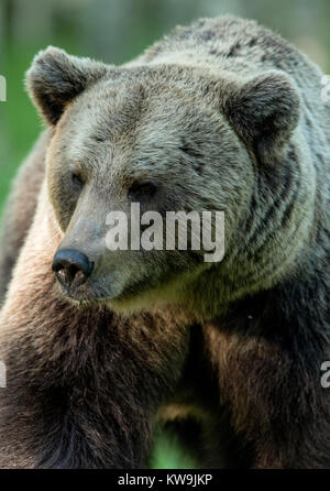 rasian Brown Bear, Finland - Stock Photo