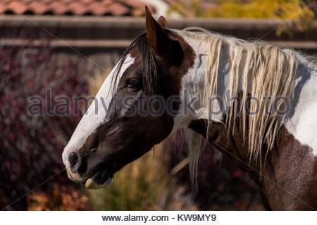 Wild horse wandering through a neighborhood in south Reno, Nevada. - Stock Photo