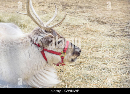 closeup of a single caribou reindeer with antlers laying down outside on bed of straw - Stock Photo