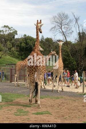 A family of giraffes watching visitors at the Werribee Open Range Zoo, Melbourne, Australia. - Stock Photo