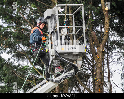 A male tree surgeon / arborist up a tree, carefully using ropes near the safety cage of a crane, with chainsaw at - Stock Photo
