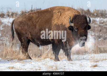 Male American bison (Bison bison) at cold winter day, Neal Smith National Wildlife Refuge, Iowa - Stock Photo