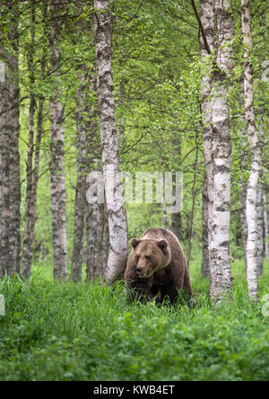 Eurasian Brown Bear, Finland - Stock Photo
