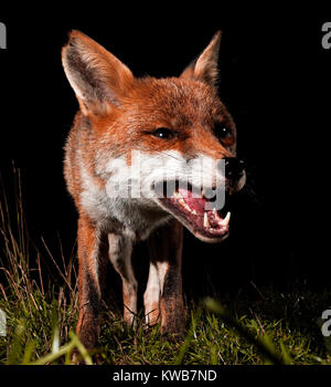 European fox snarling. - Stock Photo